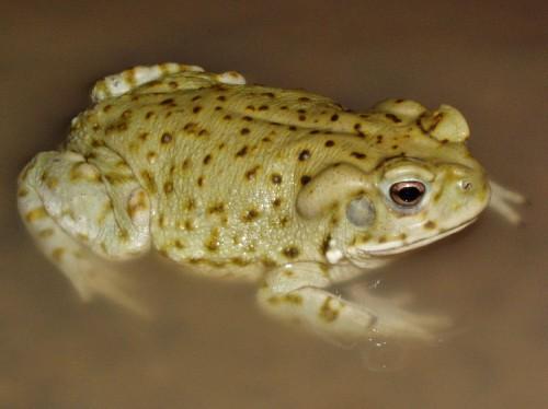 Sonoran Green Toad  Anaxyrus retiformis
