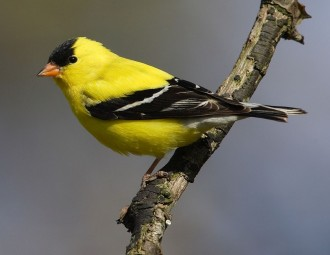 photo of American Goldfinch on tree branch