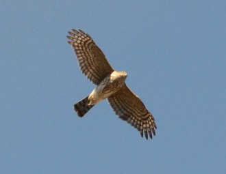Sharp-shinned Hawk in flight