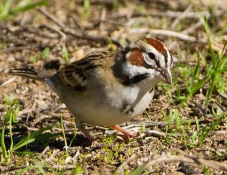 photo of a Lark Sparrow on the ground