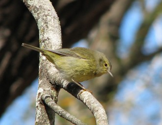 Orange-crowned Warbler perched on a tree branch