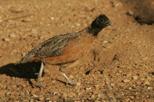 a study on the masked bobwhite quail a rare subspecies of northern bobwhite