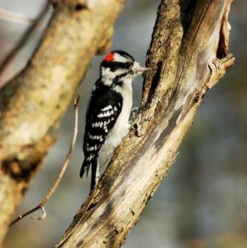 Downy Woodpecker Drumming Downy Woodpecker Drum